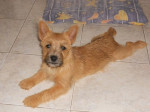 Chien Heavy, Cairn terrier 6 mois - Cairn Terrier Femelle (6 mois)