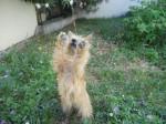 Chien Heavy, Cairn Terrier 1 an - Cairn Terrier  (0 mois)