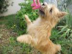 Chien Heavy, 1 an - Cairn Terrier Femelle (0 mois)