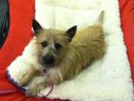 Chien Mocha - Cairn Terrier Femelle (1 an)