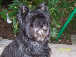 Chien Ouvea - Cairn Terrier Femelle (14 ans)