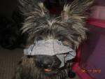 Chien deja modeling - Cairn Terrier Femelle (11 mois)