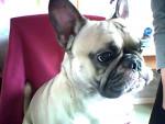 Chien Enzo mon chien adoré de race carlin croisé avec un bouledog français - Carlin Mâle (2 ans)