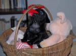 Chien Carlin noir - Carlin  (0 mois)