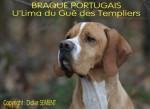 Chien BRAQUE PORTUGAIS - U\'Lima du Gué des Templiers - Chien d\'arrêt portugais  (0 mois)