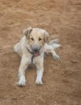 Chien Henna, chien de l\'Atlas ou Aïdi - Chien de l\'Atlas  (0 mois)