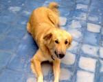 Chien Henna, chien de l\'Atlas - Chien de l\'Atlas  (0 mois)