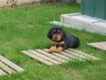 Chien croisée Jagd Terrier et Saint Hubert  , Moly - Chien de Saint-Hubert  (0 mois)