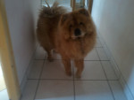 Chien Vanille - Chow Chow Femelle (8 ans)
