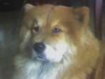 Chien Lucky Star - Chow Chow Femelle (5 ans)