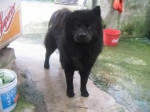 Chien diana - Chow Chow Femelle (2 ans)