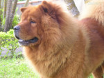 Chien boby - Chow Chow Mâle (4 ans)
