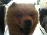 Chien Simba - Chow Chow Femelle (5 mois)