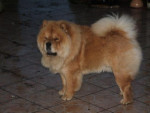 Chien chow-chow Aslan - Chow Chow  (0 mois)