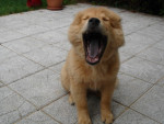 Chien chow chow croise ? - Chow Chow  (0 mois)