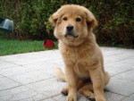 Chien chow chow croise 4 mois et 2 semaines - Chow Chow  (4 mois)