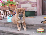 Chien chow chow kibou bebe - Chow Chow  (0 mois)