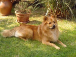 Chien CROISE CHOW-CHOW / DIEGO - Chow Chow  ()