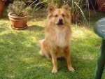 Chien DIEGO, CROISE CHOW CHOW - Chow Chow  (0 mois)