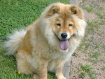 Chien chow chow - Chow Chow Femelle (0 mois)