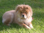 Chien CHOW CHOW KEESY - Chow Chow  (0 mois)
