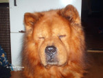 Chien Boully le Chow-Chow  - Chow Chow  (0 mois)