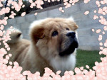 Chien HATCHI ♥ mon chow chow  - Chow Chow  (0 mois)