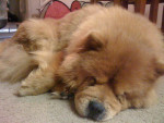Chien  - Chow Chow  (0 mois)