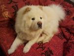Chien espoir - Chow Chow Femelle (2 ans)