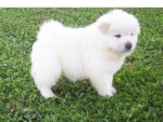 Chien Chow Chow - Chow Chow Femelle (1 an)