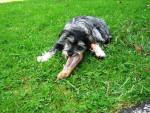 Chien Bonnie - Dandie Dinmont Terrier Femelle (11 mois)