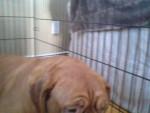 Chien ellie - Dogue de Bordeaux Femelle (9 ans)