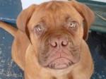 Chien Roxy - Dogue de Bordeaux Femelle (9 mois)