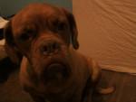 Chien FRIDA - Dogue de Bordeaux Femelle (4 ans)