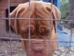 Chien Aosa - Dogue de Bordeaux Femelle (2 ans)