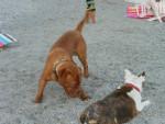 Chien rocky - Dogue de Bordeaux Mâle (2 ans)