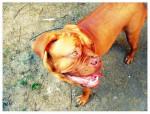 Chien Alex - Dogue de Bordeaux Mâle (2 ans)