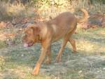 Chien Atika dogue de bordeaux 7 mois - Dogue de Bordeaux  (7 mois)