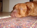 Chien dogue de bordeaux oscar - Dogue de Bordeaux  (0 mois)