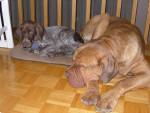 Chien Dogue de bordeaux - Tyson - Dogue de Bordeaux  (0 mois)