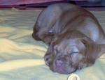 Chien dogue de bordeaux - Dogue de Bordeaux  (0 mois)