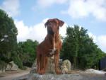 Chien Elvis, Dogue de Bordeaux - Dogue de Bordeaux  (0 mois)