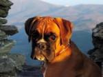 Chien damirod - Dogue de Bordeaux Mâle (7 ans)