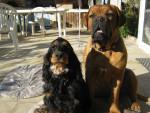 Chien Dolcé a gauche et gaya a droite - Dogue de Bordeaux Femelle (1 an)