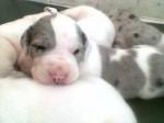 Chien cachorros de duqueza - Dogue Allemand  (0 mois)