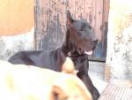 Chien danger - Dogue Allemand Mâle (2 ans)