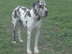 Chien Féodora - Dogue Allemand Femelle (2 ans)