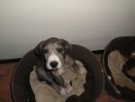 Chien ZAFIRA - Dogue Allemand Femelle (1 an)