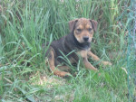 Chien Ginger - Dogue Allemand Femelle (3 mois)