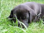 Chien Aris - Dogue Allemand Mâle (2 mois)